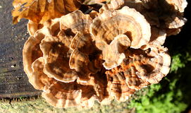 Wood fungus on stump Stock Image