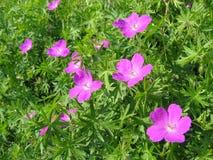 Wood geranium. In meadow stock photos