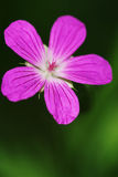 Wood geranium Stock Photos