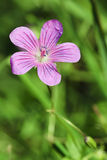 Wood geranium Stock Photography