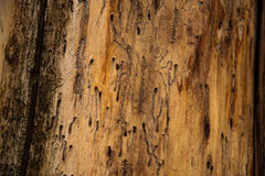 Wood grain. Damaged by insects Stock Images