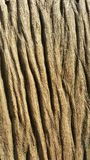 Wood grain. Grain on wood from natural Royalty Free Stock Photo