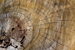 Wood grain with tree rings of growth Royalty Free Stock Images