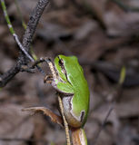 Wood green frog on a tree Stock Photography