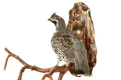 Wood-grouse Royalty Free Stock Images