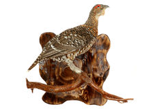 Wood-grouse Stock Images
