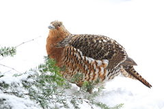 Wood grouse Royalty Free Stock Images