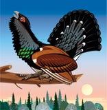 Wood grouse Stock Photo