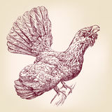 Wood Grouse  hand drawn vector llustration  sketch Royalty Free Stock Photo