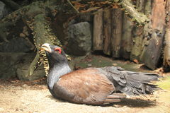 Wood grouse Royalty Free Stock Photography