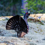 Wood Grouse's Tail Royalty Free Stock Photo