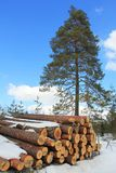 Wood and Growing Pine Tree Stock Photography