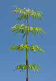 Wood horsetail (Equisetum sylvaticum) Stock Image