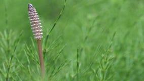 Wood horsetail or Equisetum sylvaticum stock video footage