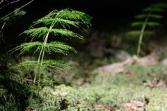 Wood horsetail - Equisetumsylvaticum Royaltyfri Bild