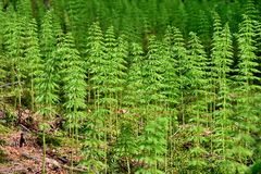 Wood horsetail Royalty Free Stock Photography