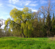 Wood with imposing willow tree and a field with green grass Royalty Free Stock Photos