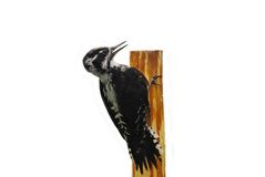 The wood industry. Woodpecker on a post on a white background Stock Photography
