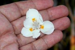 Wood iris, lös iris, uddeiris, Dietes iridioides Arkivbild