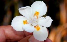 Wood iris, lös iris, uddeiris, Dietes iridioides Arkivbilder