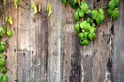 Wood and ivy Royalty Free Stock Photos