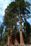 wood jätte- röda trees Arkivfoto