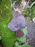 Wood or jews ear fungus Royalty Free Stock Photo