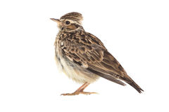 Wood Lark Lullula arborea Stock Photos