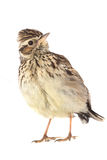 Wood Lark Lullula arborea Stock Photography