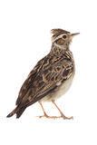 Wood Lark Lullula arborea Royalty Free Stock Photo