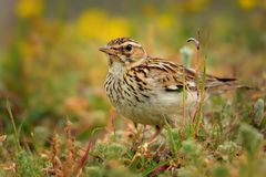 Wood Lark - Lullula arborea Stock Photography