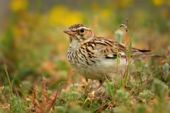 Wood Lark - Lullula arborea on the meadow pastureland in Romania Stock Photo