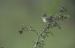 Wood lark, Lullula arborea, Stock Photography