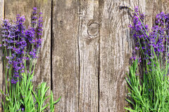 Wood Lavender Flowers Background. Lavender flowers in front of an old wood fence background