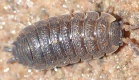 Wood lice close up Royalty Free Stock Photos