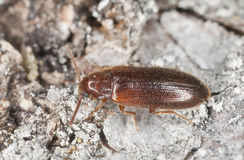 Wood living beetle Royalty Free Stock Photography
