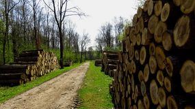 Wood Logs In Large Woodpiles Along Forest Pathway. Big pine wood logs laying on a large woodpile in the forest Royalty Free Stock Photography