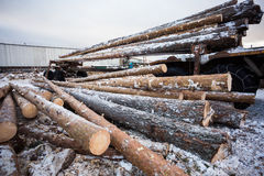 Wood logs are storing in forest Royalty Free Stock Photos