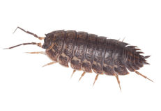 Wood louse Royalty Free Stock Image