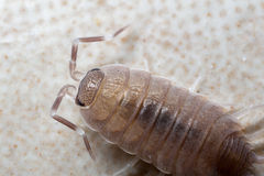 Wood louse Stock Images