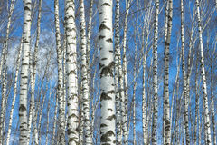 Wood of many birches Stock Image
