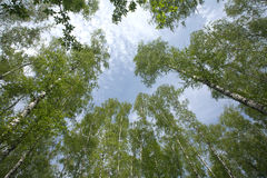 Wood of many birches in summer Royalty Free Stock Photo