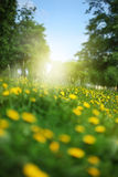 Wood meadow with dandelions Royalty Free Stock Photo