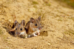 Wood Mice. Wood mouse, apodemus sylvaticus, cleaning itself before a night of foraging Royalty Free Stock Image
