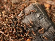 Wood in middle of wild ants build their anthill. Ant family Royalty Free Stock Image