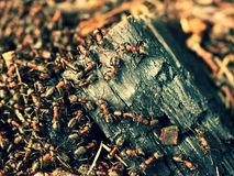 Wood in middle of wild ants build their anthill. Ant family Royalty Free Stock Photo