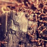 Wood in middle of wild ants build their anthill. Ant family Stock Photos