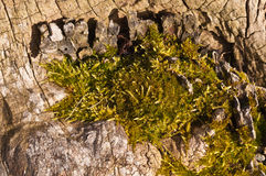 Wood with moss Royalty Free Stock Photo