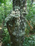 Wood moss and lichen Royalty Free Stock Image
