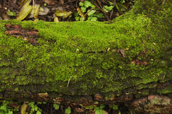 Wood and moss Royalty Free Stock Photography